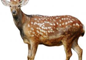 鹿和鱼在一起的寓意有哪些?